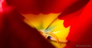 """Red Tulip Pastel  15"""" x 30"""""""