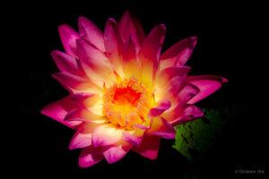 Fuchsia Water Lily 24″ x 36″